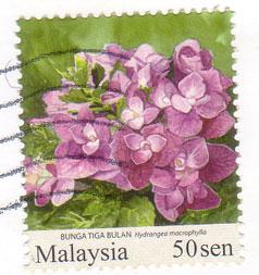 Hydrangea-malaysia