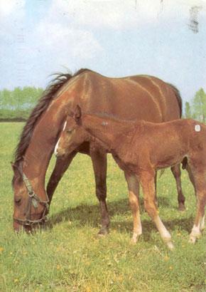 Horse-card