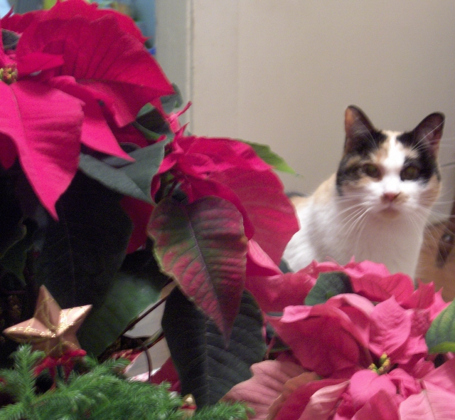 Dulce_with_poinsettias_1
